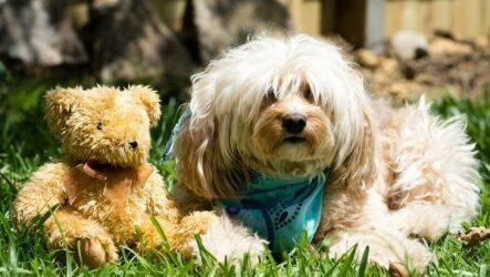 Гаванский бишон собака. Описание, особенности, виды, уход и цена породы гаванский бишон