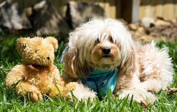 Гаванский-бишон-собака-Описание-особенности-виды-уход-и-цена-породы-гаванский-бишон-4