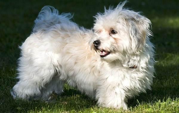 Гаванский-бишон-собака-Описание-особенности-виды-уход-и-цена-породы-гаванский-бишон-5