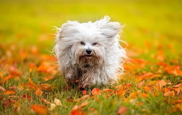 Гаванский-бишон-собака-Описание-особенности-виды-уход-и-цена-породы-гаванский-бишон-6