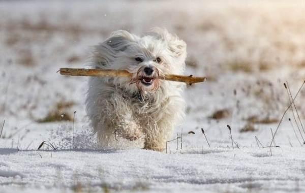 Гаванский-бишон-собака-Описание-особенности-виды-уход-и-цена-породы-гаванский-бишон-8
