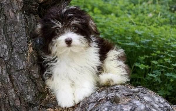 Гаванский-бишон-собака-Описание-особенности-виды-уход-и-цена-породы-гаванский-бишон-9