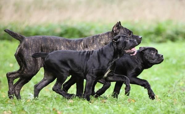 Кане-корсо-собака-Описание-особенности-виды-уход-содержание-и-цена-породы-кане-корсо-10