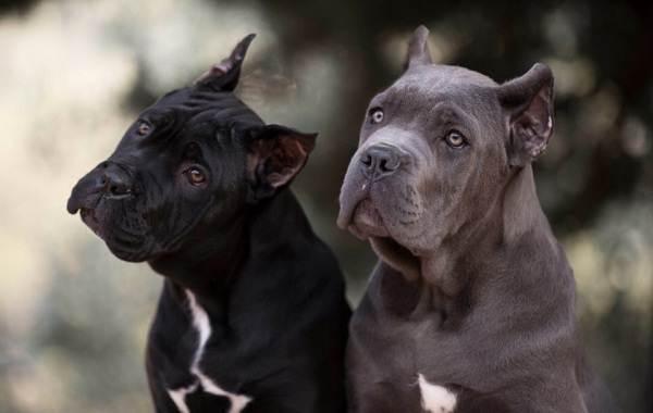 Кане-корсо-собака-Описание-особенности-виды-уход-содержание-и-цена-породы-кане-корсо-11