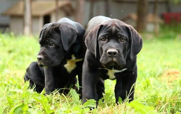 Кане-корсо-собака-Описание-особенности-виды-уход-содержание-и-цена-породы-кане-корсо-12