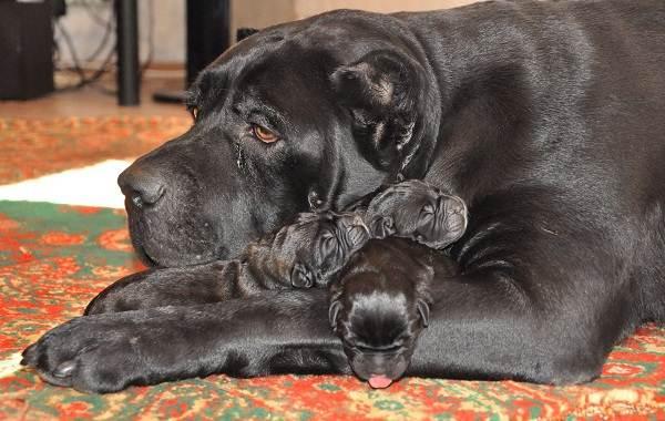 Кане-корсо-собака-Описание-особенности-виды-уход-содержание-и-цена-породы-кане-корсо-3