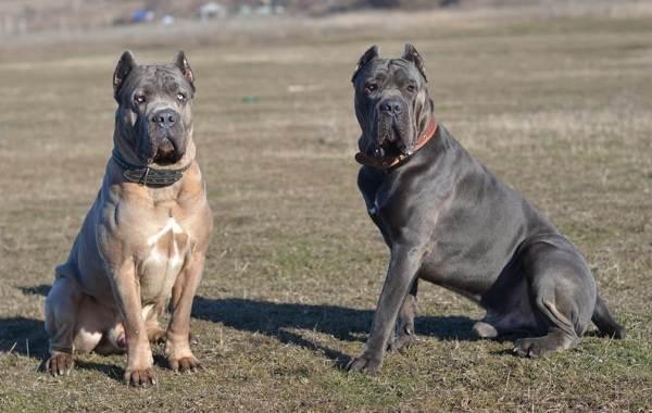 Кане-корсо-собака-Описание-особенности-виды-уход-содержание-и-цена-породы-кане-корсо-5