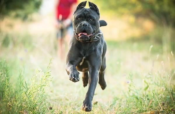 Кане-корсо-собака-Описание-особенности-виды-уход-содержание-и-цена-породы-кане-корсо-7
