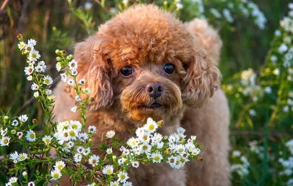 Карликовый-пудель-собака-Описание-особенности-характер-уход-и-цена-породы-1