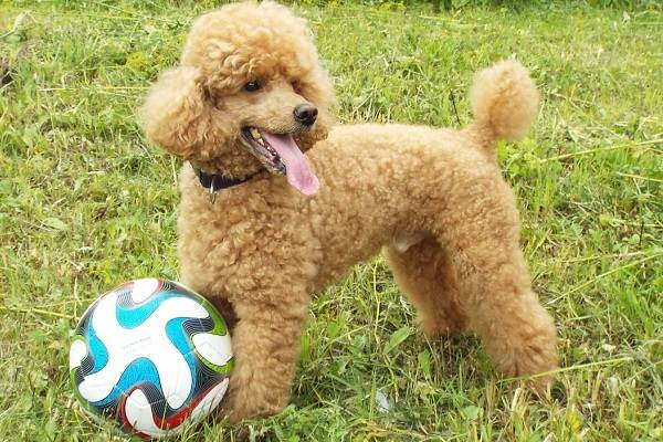 Карликовый-пудель-собака-Описание-особенности-характер-уход-и-цена-породы-10