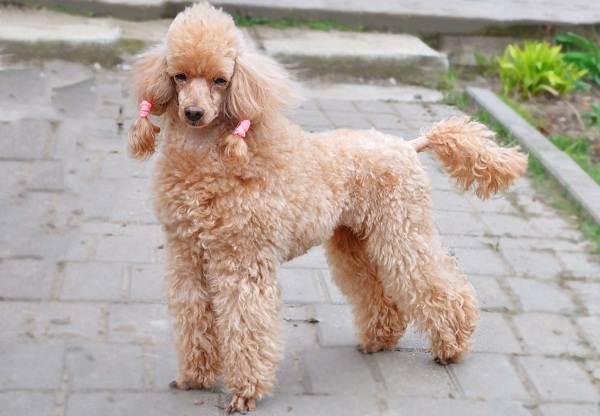 Карликовый-пудель-собака-Описание-особенности-характер-уход-и-цена-породы-11