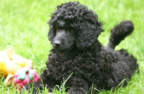 Карликовый-пудель-собака-Описание-особенности-характер-уход-и-цена-породы-2