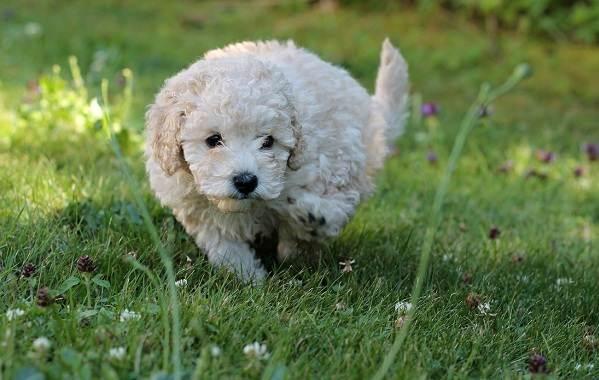 Карликовый-пудель-собака-Описание-особенности-характер-уход-и-цена-породы-3