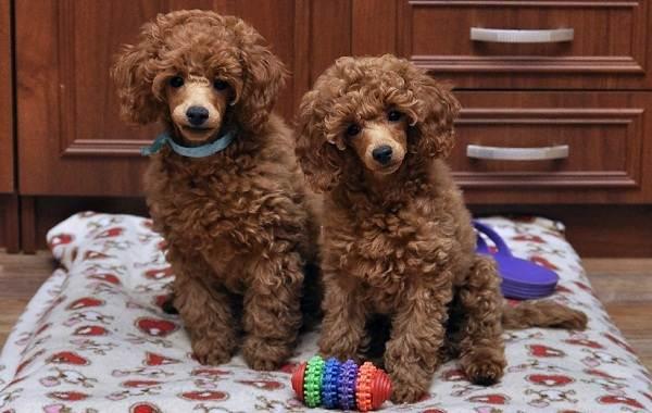 Карликовый-пудель-собака-Описание-особенности-характер-уход-и-цена-породы-4