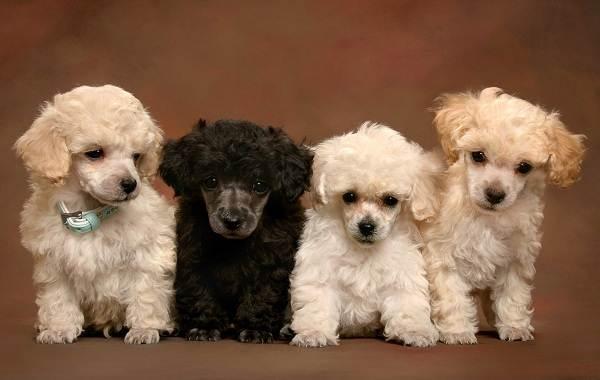 Карликовый-пудель-собака-Описание-особенности-характер-уход-и-цена-породы-5