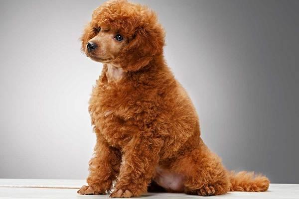 Карликовый-пудель-собака-Описание-особенности-характер-уход-и-цена-породы-8