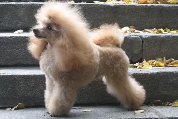 Карликовый-пудель-собака-Описание-особенности-характер-уход-и-цена-породы-9