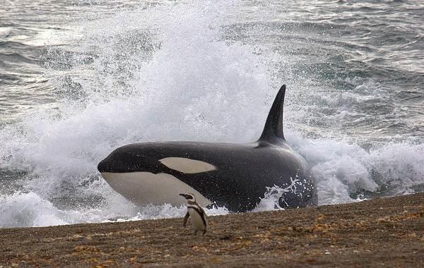 Касатка-кит-Описание-особенности-виды-образ-жизни-и-среда-обитания-касатки-13