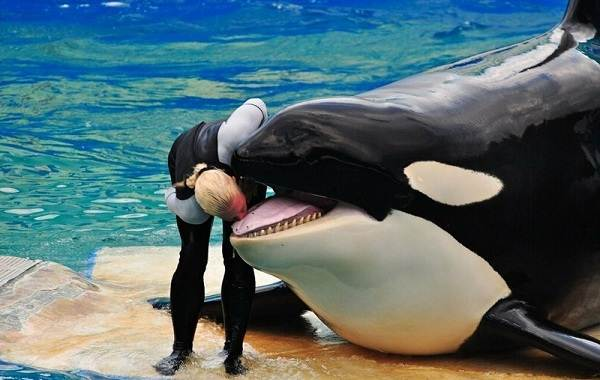 Касатка-кит-Описание-особенности-виды-образ-жизни-и-среда-обитания-касатки-14