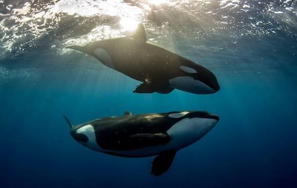 Касатка-кит-Описание-особенности-виды-образ-жизни-и-среда-обитания-касатки-16