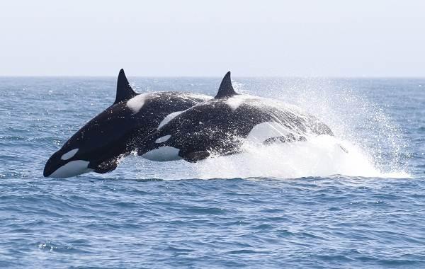 Касатка-кит-Описание-особенности-виды-образ-жизни-и-среда-обитания-касатки-2