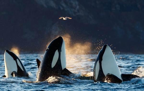 Касатка-кит-Описание-особенности-виды-образ-жизни-и-среда-обитания-касатки-5