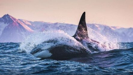 Касатка кит. Описание, особенности, виды, образ жизни и среда обитания касатки