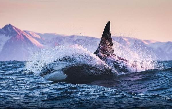Касатка-кит-Описание-особенности-виды-образ-жизни-и-среда-обитания-касатки-6