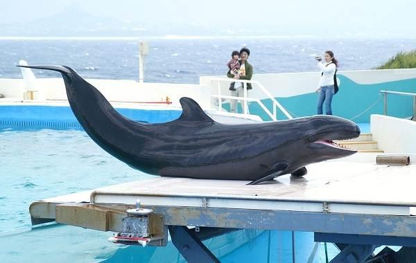 Касатка-кит-Описание-особенности-виды-образ-жизни-и-среда-обитания-касатки-7