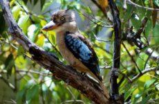 Кукабарра птица. Описание, особенности, виды, образ жизни и среда обитания кукабарры