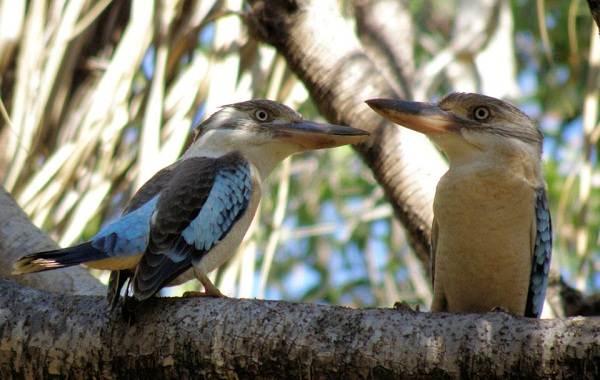 Кукабарра-птица-Описание-особенности-виды-образ-жизни-и-среда-обитания-кукабарры-10