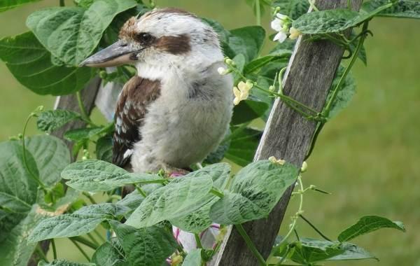 Кукабарра-птица-Описание-особенности-виды-образ-жизни-и-среда-обитания-кукабарры-12