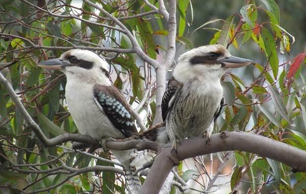 Кукабарра-птица-Описание-особенности-виды-образ-жизни-и-среда-обитания-кукабарры-18