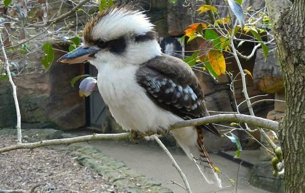 Кукабарра-птица-Описание-особенности-виды-образ-жизни-и-среда-обитания-кукабарры-2
