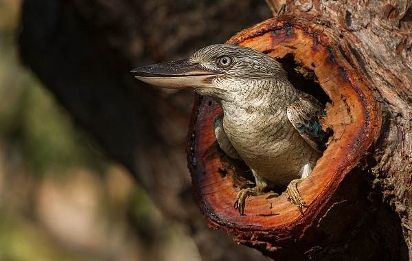 Кукабарра-птица-Описание-особенности-виды-образ-жизни-и-среда-обитания-кукабарры-3