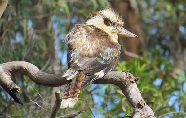 Кукабарра-птица-Описание-особенности-виды-образ-жизни-и-среда-обитания-кукабарры-5