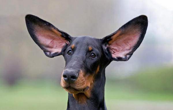 Купирование-ушей-у-собак-Описание-особенности-цена-и-уход-за-собакой-после-операции-1