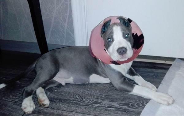 Купирование-ушей-у-собак-Описание-особенности-цена-и-уход-за-собакой-после-операции-12