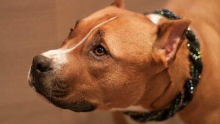 Купирование ушей у собак. Описание, особенности, цена и уход за собакой после операции