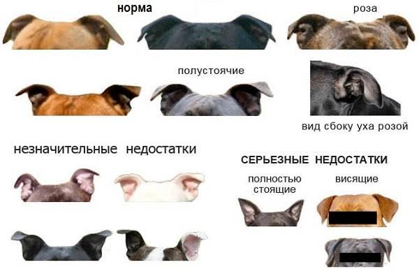 Купирование-ушей-у-собак-Описание-особенности-цена-и-уход-за-собакой-после-операции-5
