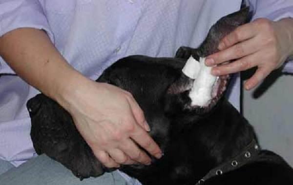 Купирование-ушей-у-собак-Описание-особенности-цена-и-уход-за-собакой-после-операции-6