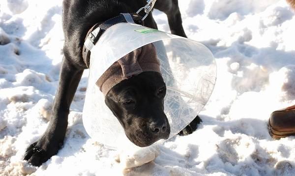 Купирование-ушей-у-собак-Описание-особенности-цена-и-уход-за-собакой-после-операции-7