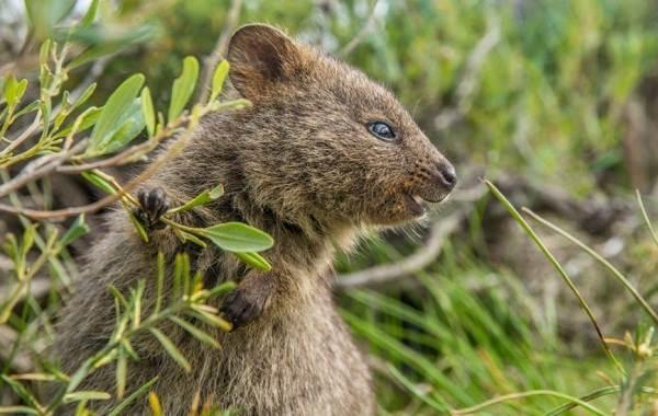Квокка-животное-Описание-особенности-виды-образ-жизни-и-среда-обитания-квокки-11