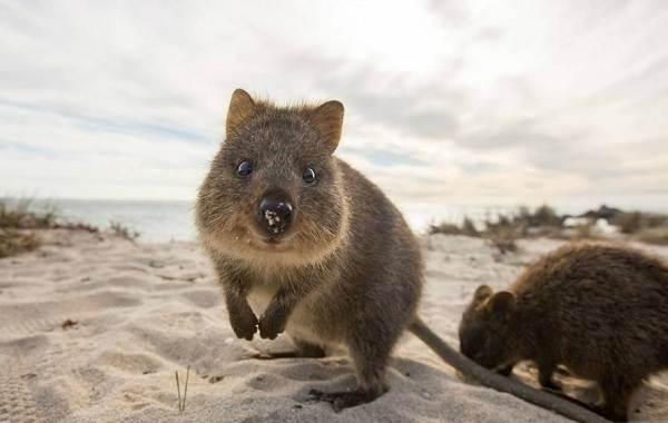 Квокка-животное-Описание-особенности-виды-образ-жизни-и-среда-обитания-квокки-2