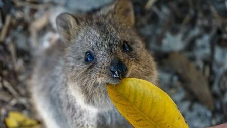 Квокка животное. Описание, особенности, виды, образ жизни и среда обитания квокки