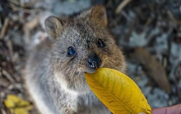 Квокка-животное-Описание-особенности-виды-образ-жизни-и-среда-обитания-квокки-6