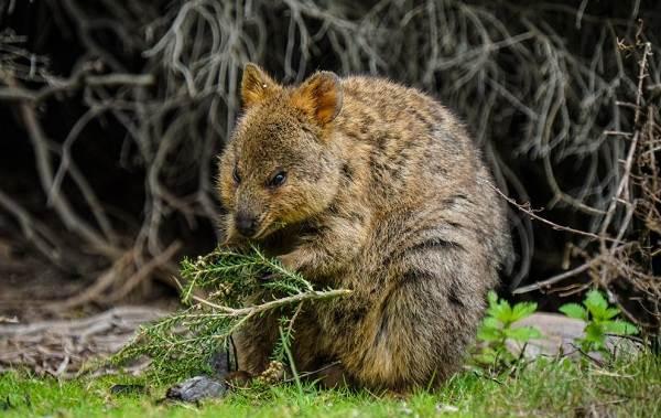 Квокка-животное-Описание-особенности-виды-образ-жизни-и-среда-обитания-квокки-8