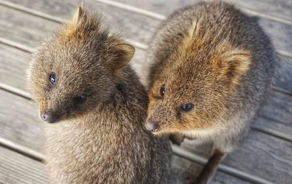 Квокка-животное-Описание-особенности-виды-образ-жизни-и-среда-обитания-квокки-9
