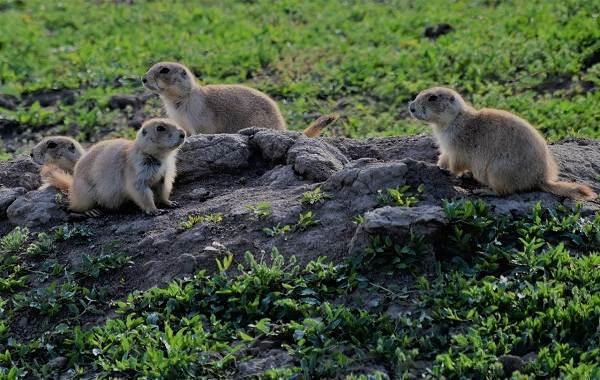 Луговые-собачки-грызуны-Описание-особенности-виды-образ-жизни-и-борьба-с-луговыми-собачками-1