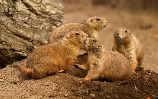 Луговые-собачки-грызуны-Описание-особенности-виды-образ-жизни-и-борьба-с-луговыми-собачками-10